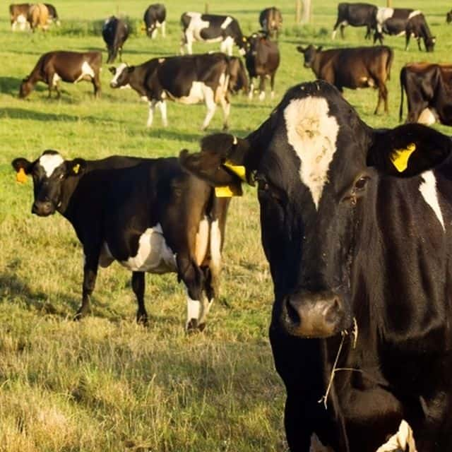ANZCO Automates Livestock Management Using Times-7 Antennas